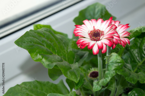 Deurstickers Gerbera Blooming gerbera with white and pink flowers growing on window sill