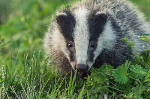 Canvas-taulu Portrait of young badger behind the sun