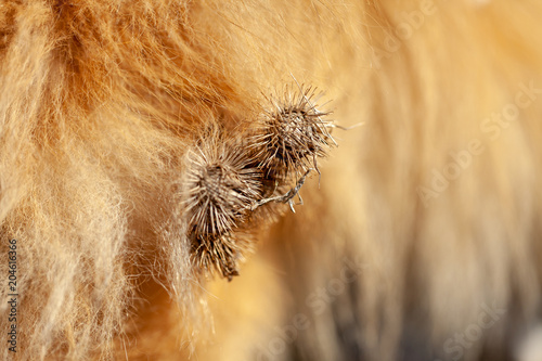 Thistles are hanging on a dog fur Fototapete