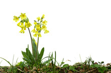 Flowering Plant Primrose (Primula Elatior, Oxlip) In Grass On A White Background With Space For Text.