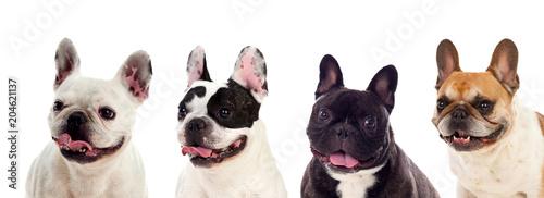 Stickers pour porte Bouledogue français Portrait in Studio of cute bulldogs