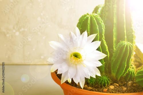 Fotomural  Blooming white flowers of cactus echinopsis