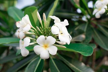 Obraz na płótnie Canvas White flowers frangipani,Plumeria