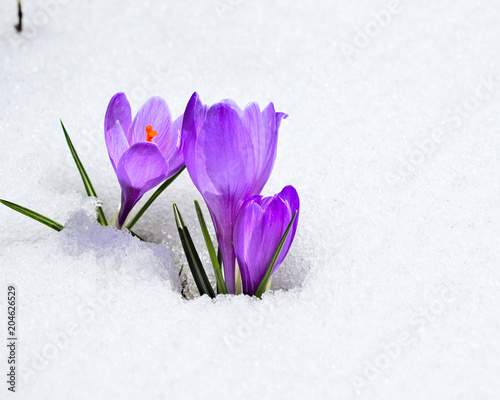 Valokuva Purple crocuses emerging from fresh snow
