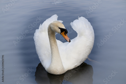 Foto op Canvas Zwaan White swan on lake. Mist, front view
