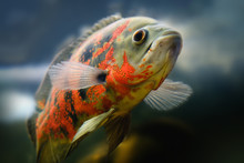 Oscar Fish Astronotus Ocellatu...