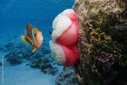 A clownfish with a sea anemone underwater, Pacific ocean, Polynesia, Rarotonga, Tablou Canvas