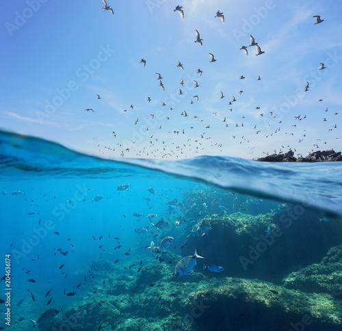 Cuadros en Lienzo Seabirds (Mediterranean gulls ) flying in the sky and a shoal of fish with rocks