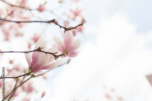 Tuinposter Magnolia Closeup of magnolia tree blossom with blurred background and warm sunshine