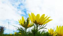 Beautiful Yellow Flower On Blue Sky Background.