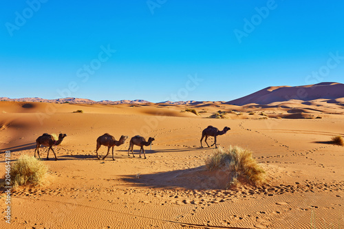 Camel caravan going through the sand dunes in the Sahara Desert. Morocco