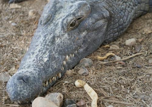 Keuken foto achterwand Krokodil Nile crocodile (crocodylus niloticus)