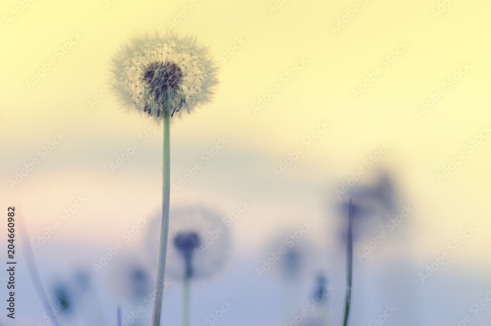 Fototapety, obrazy: Abstract background of beautiful fluffy dandelion flowers in spring. Color toned effect
