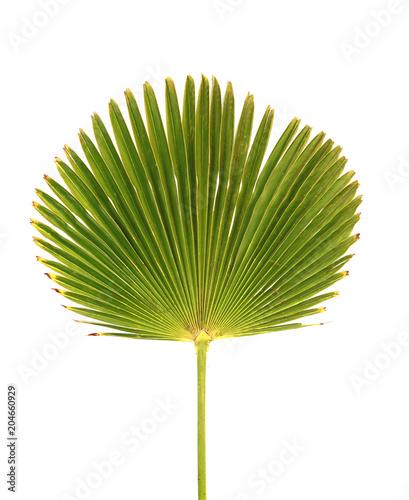 Feuille de palmier Licuala grandis