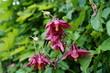 burgundy flowers aquilegia