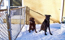 Two Best Friend Dogs, A Chocol...