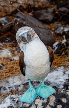 Blue-footed Booby Looking At C...