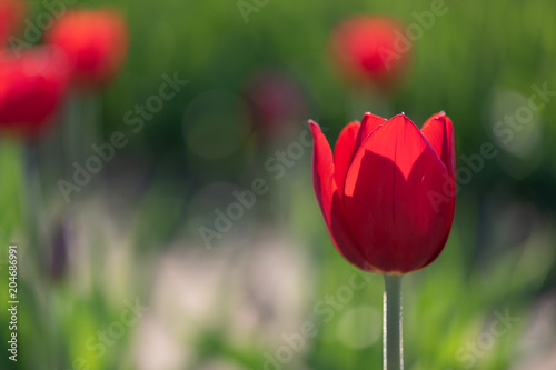 A single backlit red tulip stands out in the foreground in a field of red tulips Poster