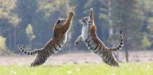 2 Tiger Springen