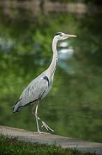 Portrait Of Heron Walking In B...