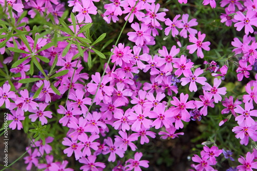 Foto op Canvas Azalea Flowering verbena in the spring garden, pattern with small pink flowers, pink verbena on a blurred background, blank for the designer, botanical garden, postcard on the holiday