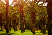 Date Paln Trees, A Beautiful P...