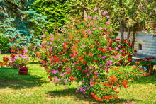 An Incredible Cluster Of Geraniums Red Purple Orange In Hanging Baskets Shaped As A Tree