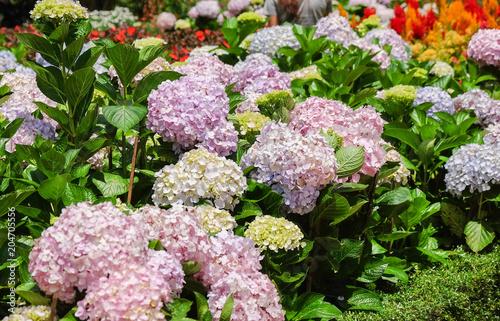 Foto op Canvas Hydrangea Hydrangea flowers blooming