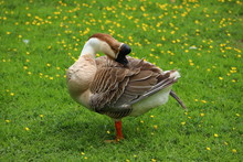 Brown Chinese Goose Preening On Buttercup Meadow