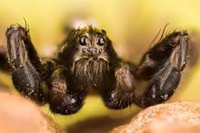 Wolf Spider, Spiders, Pardosa ...