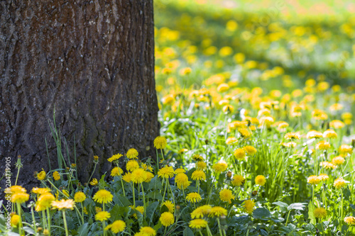 In de dag Lente Beautiful spring or summer wild forest or park on bright sunny day. Thick big tree trunk and lavishly blooming yellow flowers on blurred green foliage bokeh background. Beauty of nature concept.