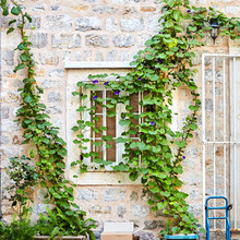 White Window. Green Ivy Plant Climb On Old White Stone Brick Wall Background