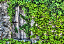 Vintage Wooden Gate With Rustic Metal Hinges In An Old Stone Wall Coverd In Green Vines