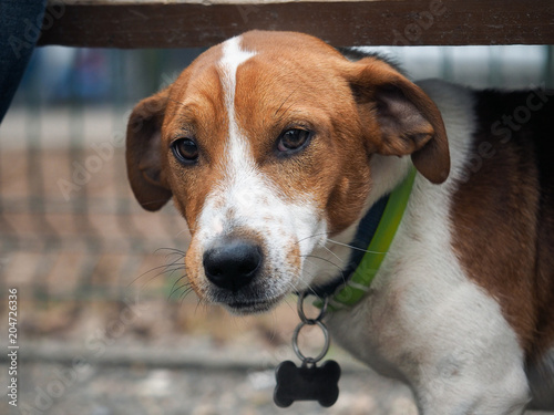 Photographie  The look is smart, sad dog. Portrait of a dog breed Jack Russell