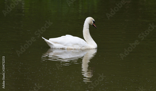 Foto op Canvas Zwaan Swan Refelction On Water