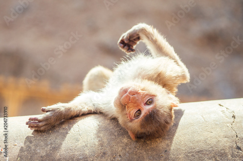 Staande foto Aap gray monkey in jaipur