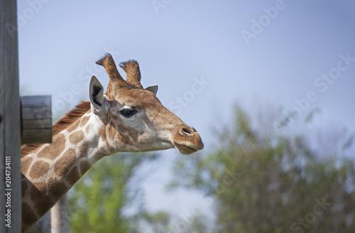 Staande foto Leeuw Head of Giraffe near a wooden fence