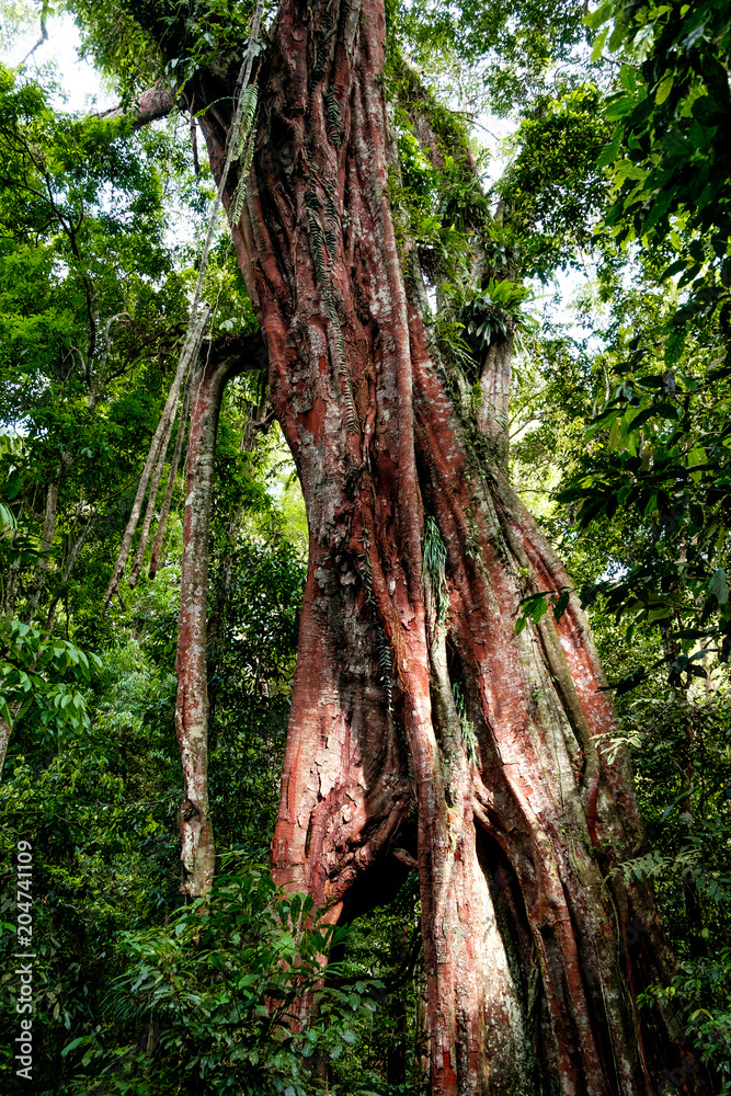 vertical view of huge millenary tree in the untouched sumatra rainforest