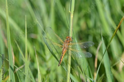 Libellule fauve (Libellula fulva)
