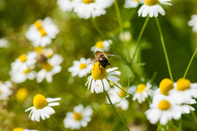 Bee On Camomile 02