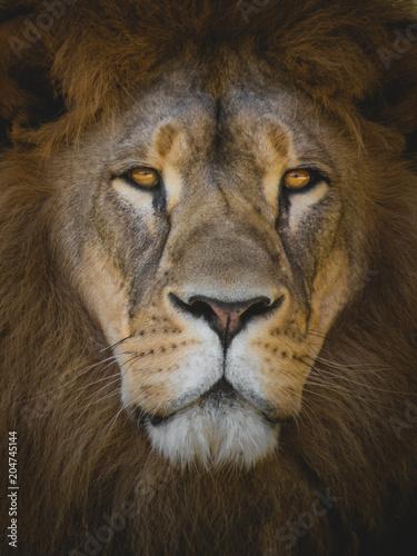 Foto op Plexiglas Leeuw The king of animals LION