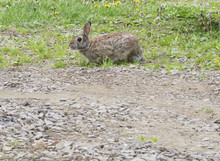 Bunny Rabbit In Grassy Field