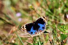 The Blue Pansy Butterfly