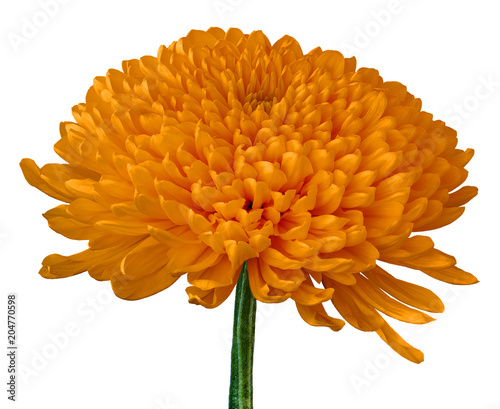 Keuken foto achterwand Bloemen A orange Chrysanthemum flower isolated on a white background. Close-up. Flower bud on a green stem.