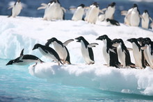 Adelie Penguins Jump Into The Ocean From An Iceberg