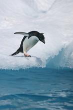 Adelie Penguin Readies To Jump...