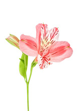 Alstroemeria Flower And Leaf Isolated Against White Background
