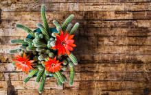 Cactus Blossom On Rustic Table