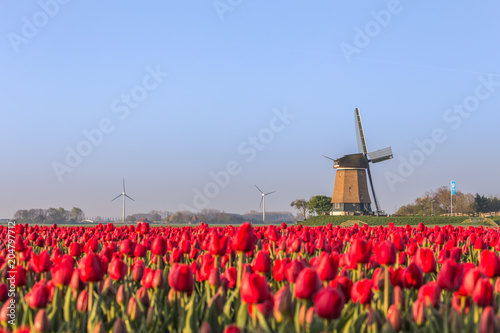 Poster Molens Field of red tulips and windmill on the background. Koggenland, North Holland province, Netherlands.