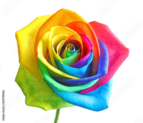 Amazing rainbow rose flower on white background
